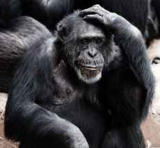 animal-ape-black-clever-41303.jpeg