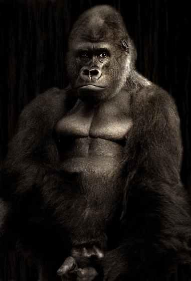 gorilla-silverback-monkey-silvery-grey-39586.jpeg