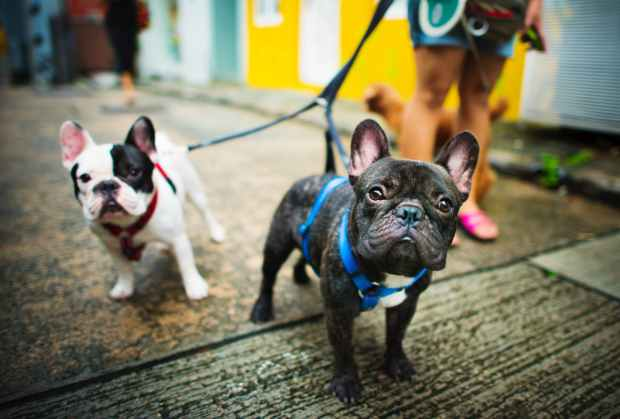 close up photography of french bulldogs